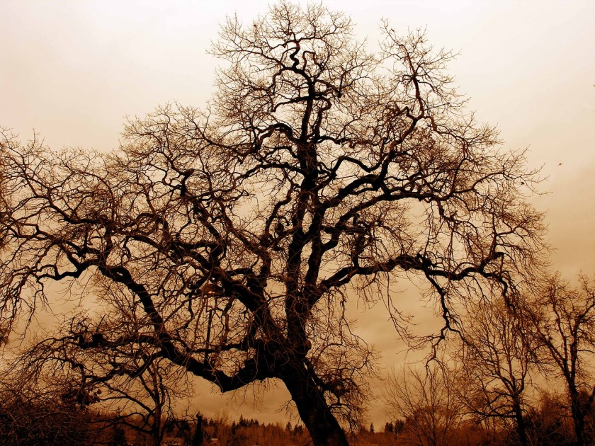 gnarled-old-oak-1166907_1280